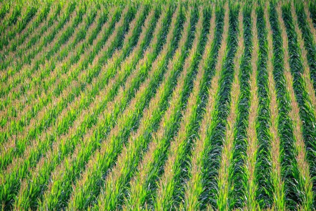 cornfield-902877_1920